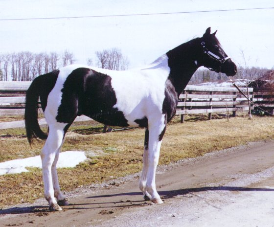 Brown & White Tobiano Stallion