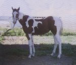 Homozygous Bay & White Paint mare