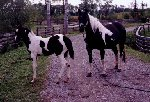 Homozygous Black & White Paint mare