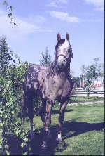 Terrific Century - Grey Arabian gelding